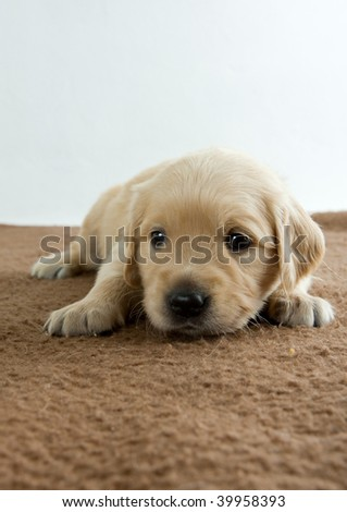 puppy of golden retriever - stock photo