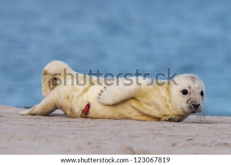 puppy of grey seal (halichoerus grypus) on the beach - stock photo