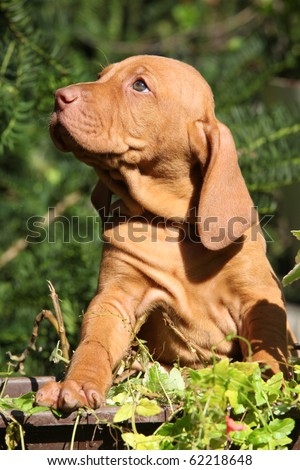 Puppy of Hungarian Short-haired Pointing Dog - Vizsla - stock photo