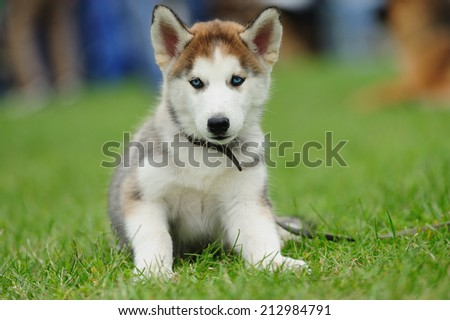 puppy of husky dog on the green grass