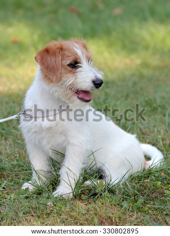 Puppy of Jack Russell Terrier on a green grass lawn - stock photo