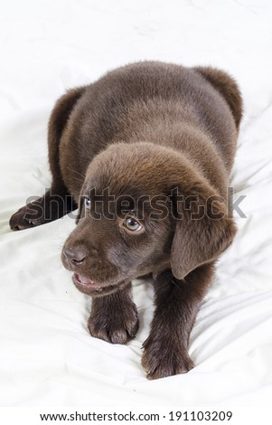 Puppy of labrador