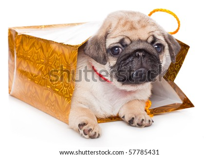 Puppy of pug in bags. Isolated on white - stock photo