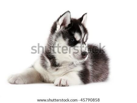 puppy of siberian husky - stock photo
