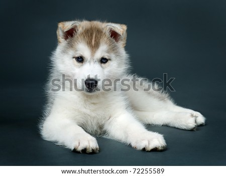 puppy of siberian husky - stock photo