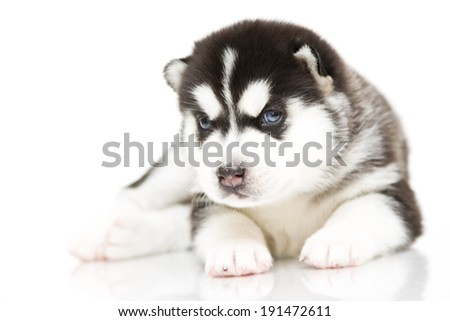Puppy of Siberian Husky, age of 3 weeks, isolated on a white background - stock photo