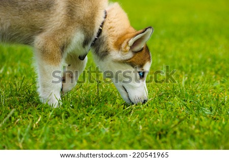 Puppy of Siberian Husky dog on green grass