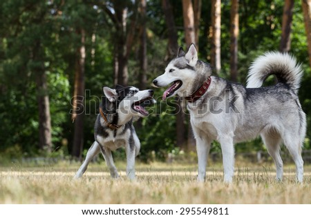 Puppy of Siberian Husky plays with adult Husky. Grass dried up from drought and heat. Pine forest in the background. - stock photo
