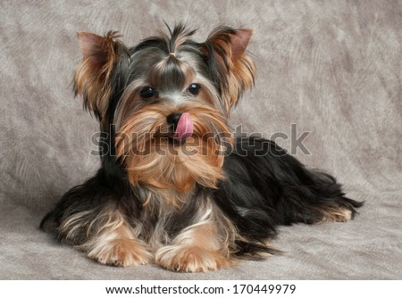 Puppy of th Yorkshire Terrier licks after eating dog food - stock photo