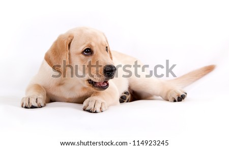 puppy of the Labrador on a white background - stock photo