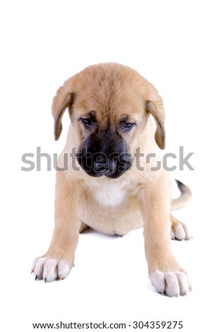 Puppy of the Spanish mastiff isolated on a white background - stock photo