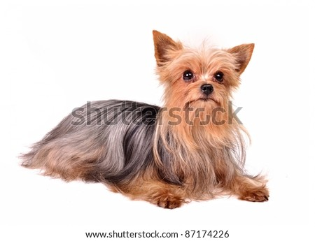 Puppy of the yorkshire terrier, isolated against white background - stock photo