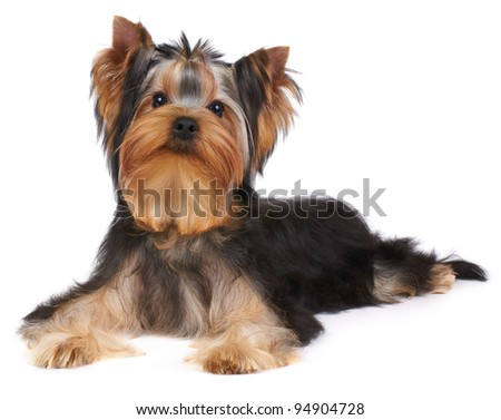 Puppy of the Yorkshire Terrier isolated on the white background - stock photo