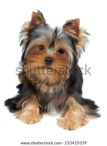 Puppy of the Yorkshire Terrier tilted head to the left - stock photo