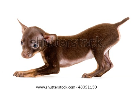 Puppy of toy-terrier in studio