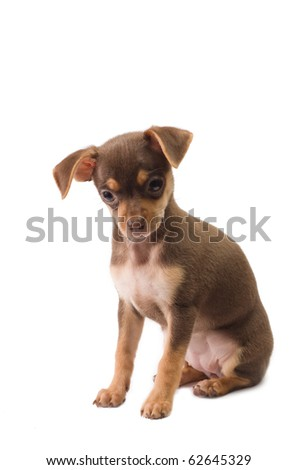 Puppy of toy terrier in studio