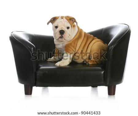 puppy on a dog bed - english bulldog puppy sitting on a dog couch - 11 weeks old - stock photo