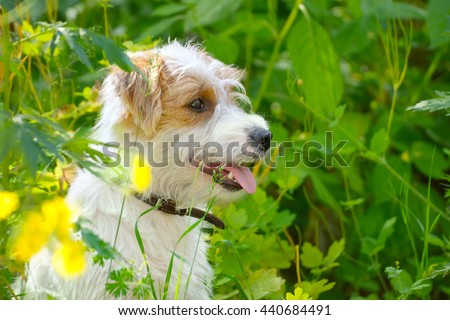 Puppy on a summer meadow. Small dog in nature. Cute pet sitting in a green grass and yellow flowers.  - stock photo