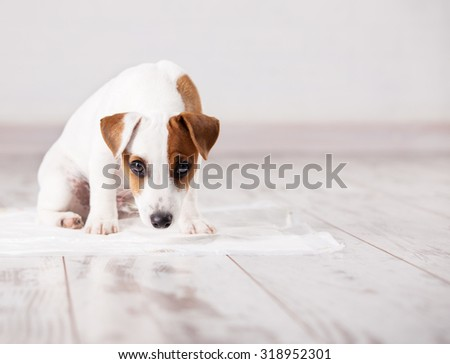 Puppy on absorbent litter. Accustom the dog to the toilet. Training pets - stock photo