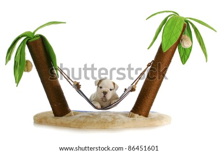 puppy on holidays - english bulldog puppy laying in hammock between two palm trees on white background - stock photo