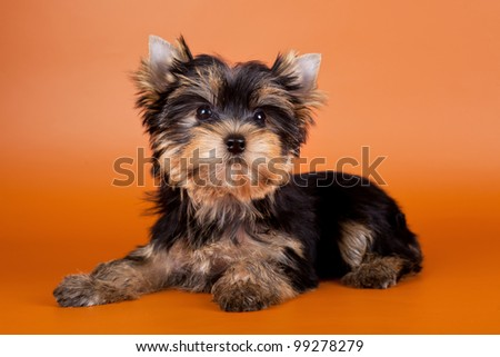 Puppy on orange background - stock photo