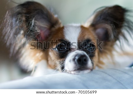 Puppy Papillon. Shallow depth of field