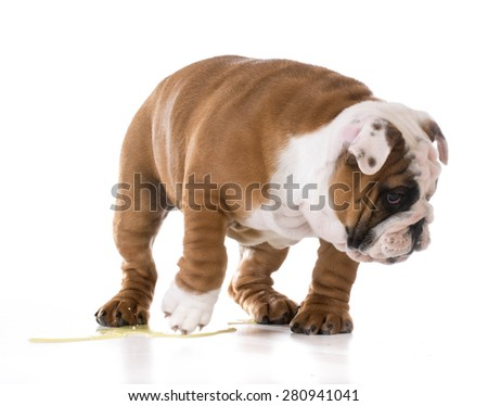 puppy peeing - bulldog puppy peeing isolated on white background - stock photo