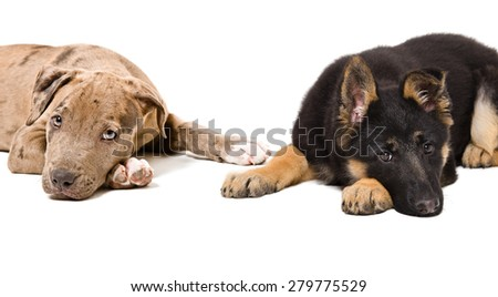 Puppy pit bull and puppy German Shepherd lying together isolated on white background - stock photo