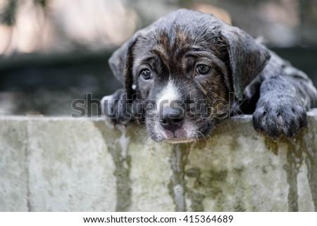 Puppy Pitbull dog getting a bath - stock photo
