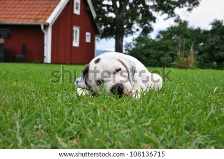 Puppy, Pitbull - St Bernard, resting in the grass with a red cottage in the background. - stock photo