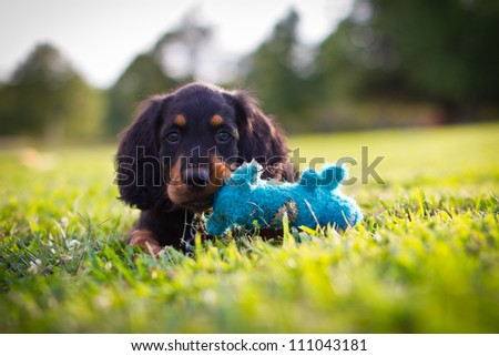 Puppy playing with a blue squeak toy - stock photo