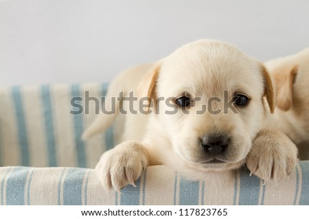 Puppy - portrait of cute labrador puppy - stock photo