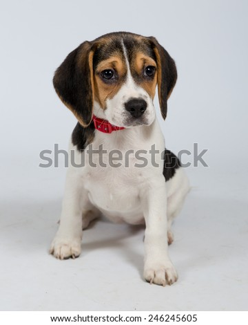 Puppy Posing Against a White Background - stock photo