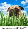 puppy pug in the grass against the sky - stock photo