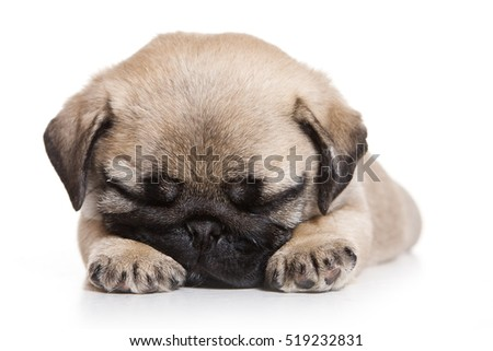 Puppy pug (isolated on white)