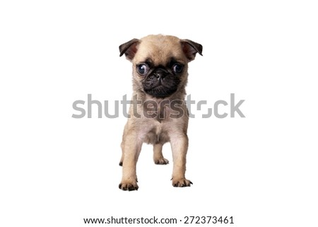 puppy pug on white background - stock photo