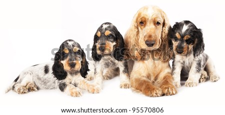 puppy purebred english cocker and adult in studio - stock photo