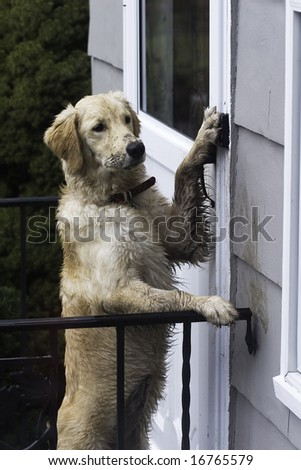 puppy ringing the bell to come in when all muddy - stock photo