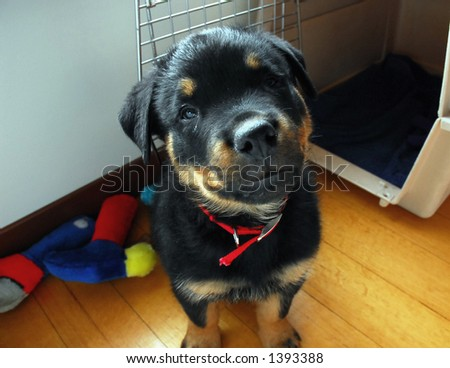 Puppy Rottweiler - stock photo