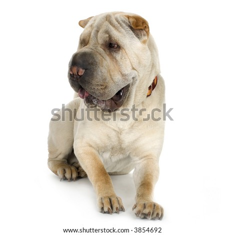 puppy Sharpei in front of a white background