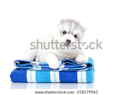 Puppy Siberian Huskies on a towel, on a white background - stock photo