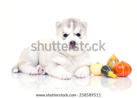 Puppy Siberian Huskies on a white background