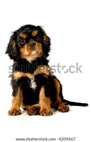 Puppy sitting down - stock photo