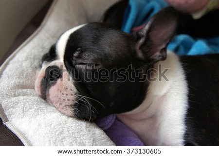 Puppy sleeping in his bed - Boston Terrier - stock photo