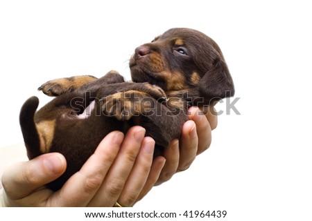 puppy sleeps on the girl's hand - stock photo