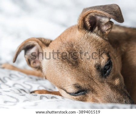 Puppy - small dog - ginger pet on bed - cute dog - stock photo