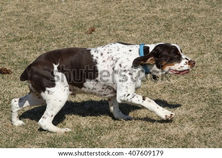 Puppy Spaniel - stock photo