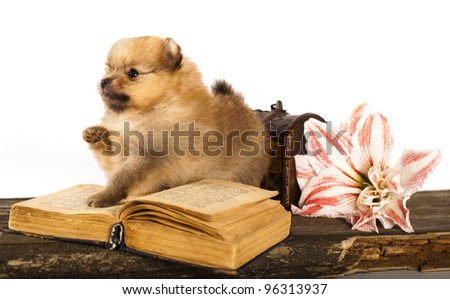 puppy spitz and  book - stock photo