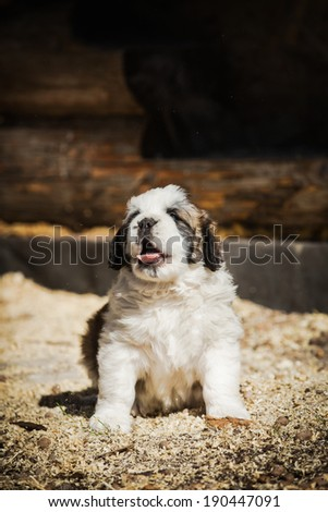 Puppy St. Bernard dog - stock photo