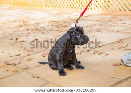 Puppy Staffordshire Bull Terrier sitting on a leash with a cute, reluctant, appealing look in his eyes, looking up the leash to the human on the end. - stock photo
